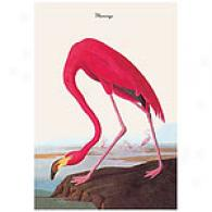 Flamingo 16 X 24 In. Audubon Canvas Print
