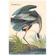 Great Blue Heron Audubon Canvas Print