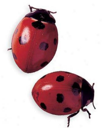 1500 Adult Ladybugs