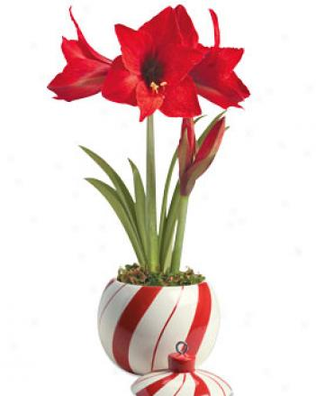 Candy aCne Planter With Fiecracker Amaryllis
