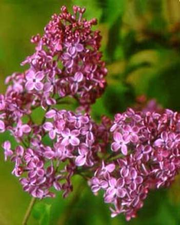Dark Night Lilac