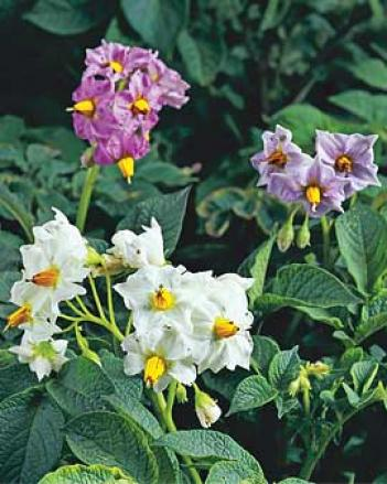 Flowering Potatoes