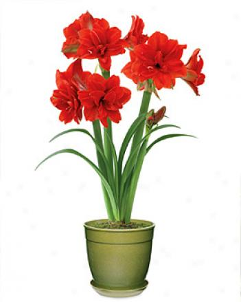 Giant Amaryllis In Green Eco-pot