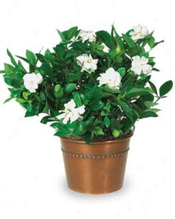 Heavenly Scent Gardenia