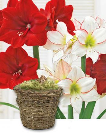 Holiday Amaryllis, Potted