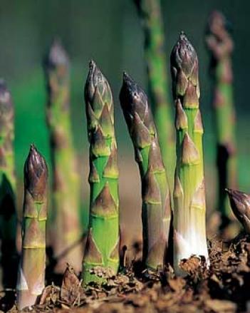 Jersey Utmost Asparagus, 25 Crowns