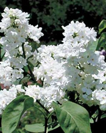 Mcmaster Centennial Lilac