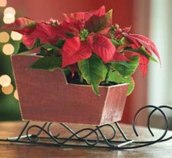 Mini Poinsettias With Red Sleigh Planter
