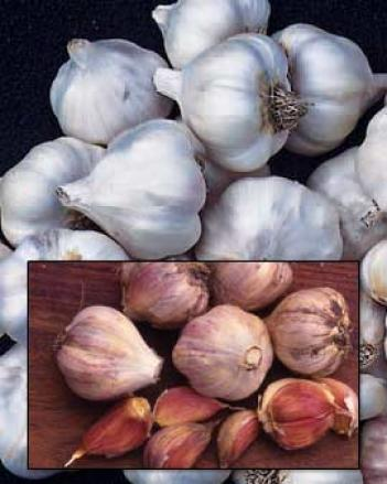 Organic Garlic Collection