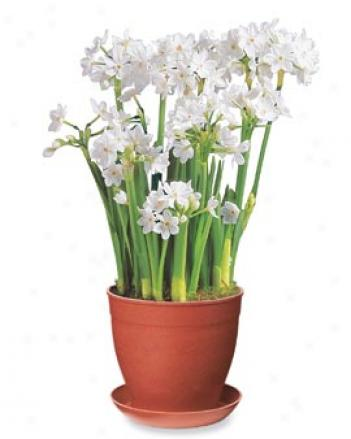 Paperwhites In Red Eco-pot
