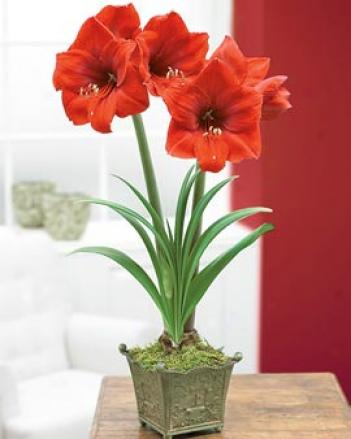 Red Lion Amaryllis, Single Bulb