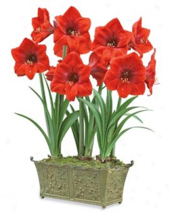 Red Lion Amaryllis Trio