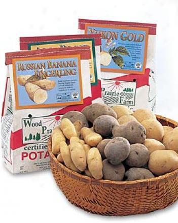 Russian Banana Potatoes, 1 Lb.