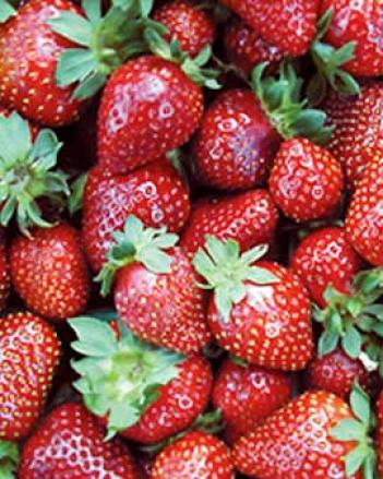 Seascape Strawberries, 25 Plants
