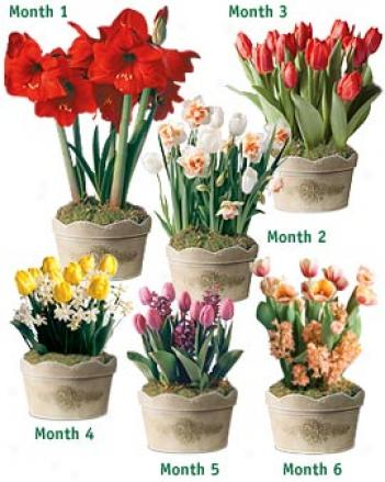 Six Months Of Flowering Bulbs
