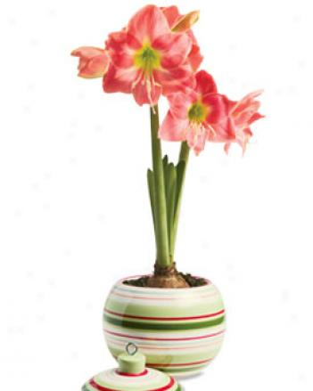 Striped Ornament Planter With Amalfi Amaryllis