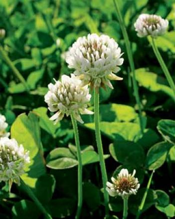 White Clover Seed, 1/2 Lb.