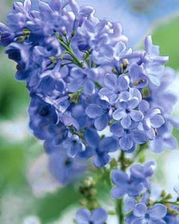Wonderblue Lilac