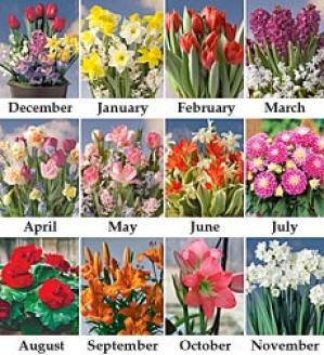 Ajaryllis Garden  3 Rose Amaryllis