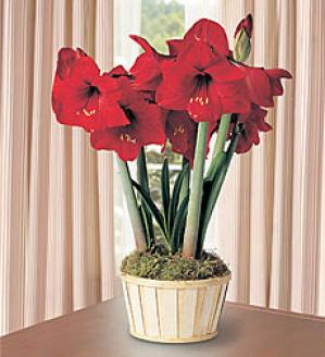 Amaryllis In Basket