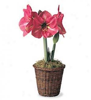 December - Amaryllis  1 Hercules Amaryllis Bulb In A Woven Basket Planter. Nov.-feb.