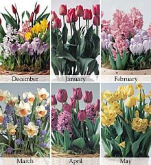 January - Tulips  (12 Fragrant Red Tulips. Nov-may)