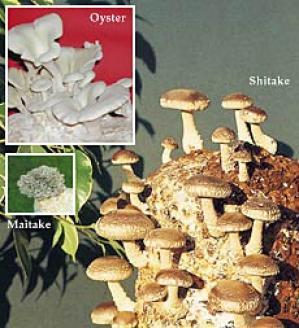 Shitake Mushroom Kit
